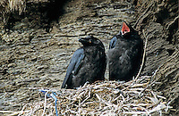 Common Raven, Corvus corax,young in nest, Ekkeroy, Norway, Europe