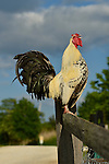 Rooster Crowing, perched on wood fence, a beautiful Spring day at Levy Park & Preserve, Merrick, New York, USA, May 31, 2014