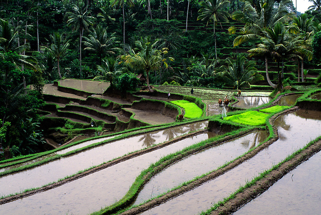 INDONESIA, BALI, TERRACED RICE FIELDS AT GUNUNG KAWI, FARMER PLOWING