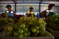 Montes Claros_MG, Brasil...Colheita de uvas em Montes Claros, Minas Gerais...Grape crop in Montes Claros, Minas Gerais...Foto: LEO DRUMOND / NITRO