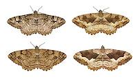 70.265 (1941)<br /> Mottled Beauty - Alcis repandata