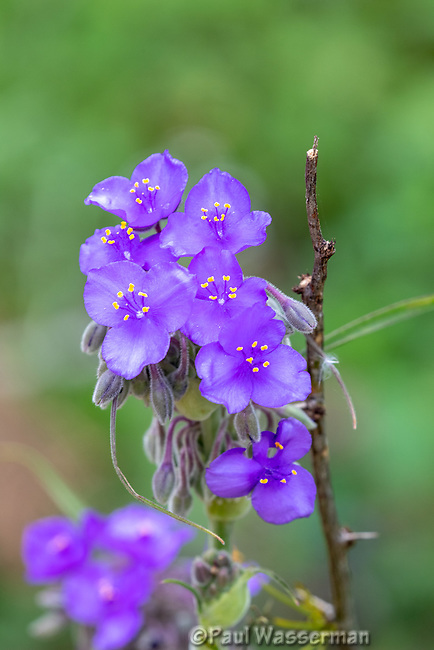 Spiderwort wildflower in Texas