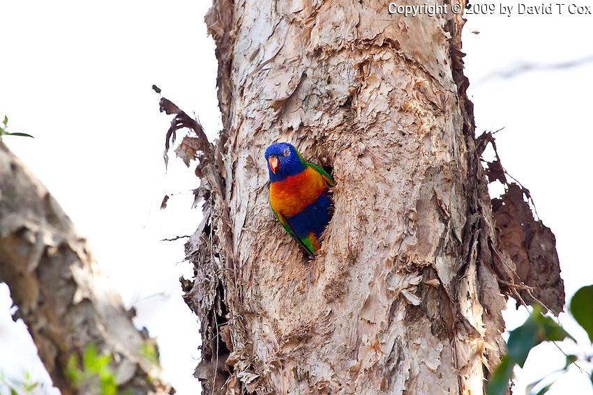 Rainbow Lorikeet, Cairns, Queensland, Australia