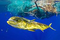 mahi mahi, dolphin fish, or dorado, Coryphaena hippurus, on fishing line, under large clump of ocean garbage and discarded fishing nets, Big Island, Hawaii, USA, Pacific Ocean