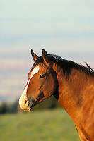 Wild Horse. Pryor Mountains, Montana.  Summer..(Equus caballus)