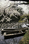 Boats lie underneath an umbrella cherry blossom trees at the Cherry Blossom Festival held in Oyo Park near Hirosaki Castle in Aomori Prefecture in Northern Honshu, Japan. Over 1500 cherry trees come into bloom from late April to Early May. (Jim Bryant Photo)....