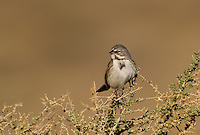 578830020 a wild sage sparrow amphispiza belli nevadensis perches on a sagebrush branch in kern county california