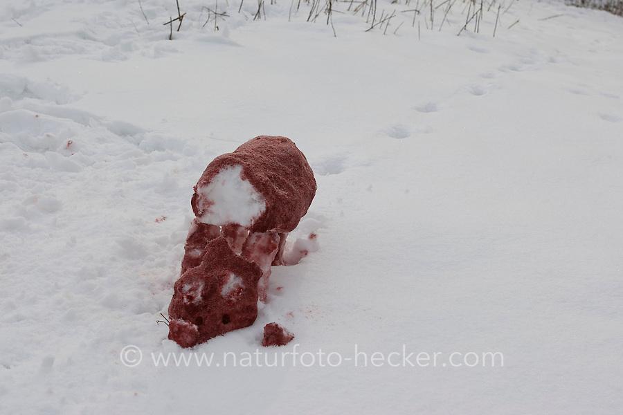 Kinder bauen einen Fuchs, Rotfuchs aus Schnee, Schneefigur wird mit Erdpigmenten eingefärbt, Schneekunst ist vergänglich...