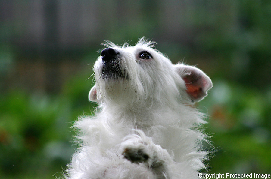 Jack Russell Terrier Headshot Sitting Up