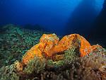 Orchid Island (蘭嶼), Taiwan -- Orange sponge at Jichang Waijiao (機場外礁)