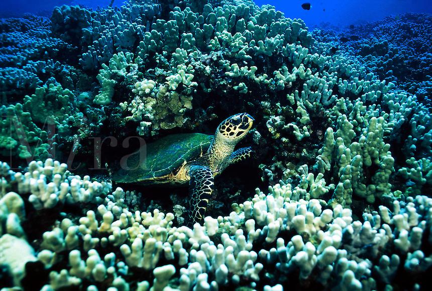 GREEN SEA TURTLE Chelonia mydas HAWAII.