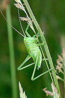 Great Green Bush Cricket - Tettigonia viridissima
