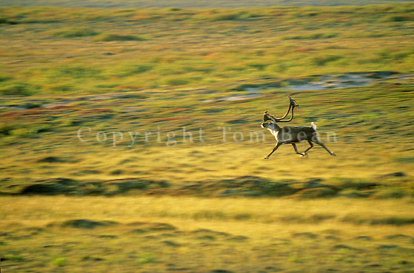 Bull caribou runs across tundra in Barrengrounds near Whitefish Lake, Northwest Territories, Canada, AGPix_0131.