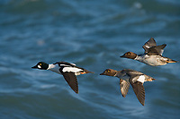 DIGITAL COMPOSITE: Common Goldeneye male and female ducks fly over the waters of Kachemak bay in Homer, Alaska.