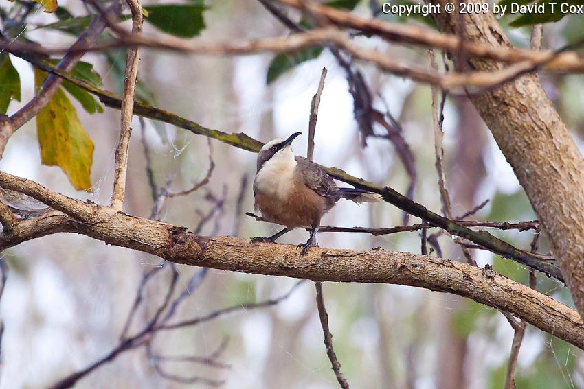 Grey-Crowned Babbler, Mareeba Wetlands, Queensland, Australia