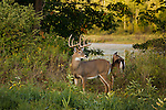 White-tailed buck with a doe in the background
