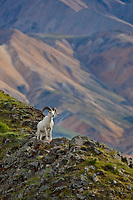 Dall sheep ram on a rock outcrop that overlooks the Polychrome mountains of the Alaska range in Denali National Park, interior, Alaska.