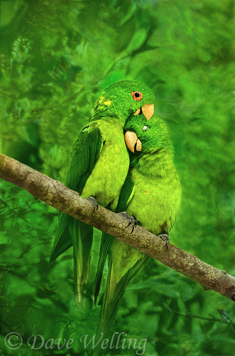 566700002 a wild mated pair of green parakeets aratinga holochora engage in mutual preening and breeding behavior while perched in a tree on los ebanos ranch in tamaulipas state mexico