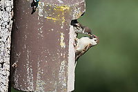 Feldspatz, Altvogel füttert am Nistkasten, Küken, Vogelkasten, Feld-Spatz, Feldsperling, Feld-Sperling, Spatz, Spatzen, Sperling, Passer montanus, tree sparrow, nesting box, sparrows, Le Moineau friquet