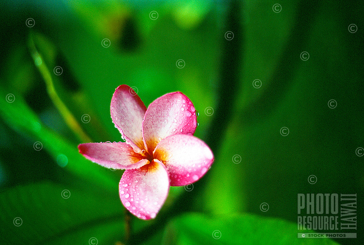 Pink and yellow plumeria wet with morning dew.
