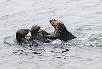 Three sea otters (Enhydra lutris nereis) wrestling around near a raft of otters, Moss Landing in the Monterey Bay National Marine Sanctuary.