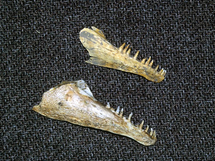 Jawbones of a bowfin showing teeth