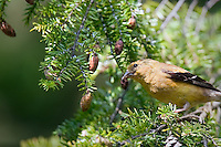 Bright yellow male American Goldfinch perched in a hemlock tree