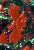 Begonia Illumination Orange