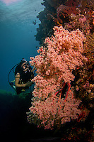 diver at massive soft coral bush at the liberty wreck in Tulamben Bali