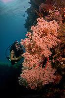 diver at massive soft coral bush at the liberty wreck in Tulamben Bali