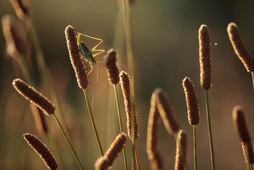 Ephippiger bush-cricket, Ephippiger ephippiger, rests on Hoary Plantain, Plantago media.<br /> Lagadin region. Lake Ohrid (693m).<br /> Galicica National Park, Macedonia, June 2009<br /> Mission: Macedonia, Lake Macro Prespa /  Lake Ohrid, Transnational Park<br /> David Maitland / Wild Wonders of Europe