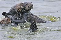 Sea Otter (Enhydra lutris) mom resisting advances of male sea otter.