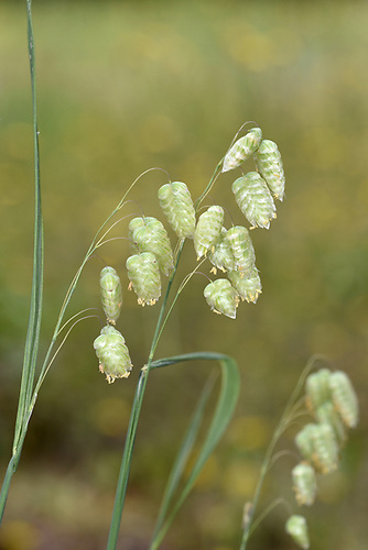 Large Quaking Grass - Briza maxima