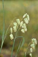 Large Quaking Grass - Briza maxima