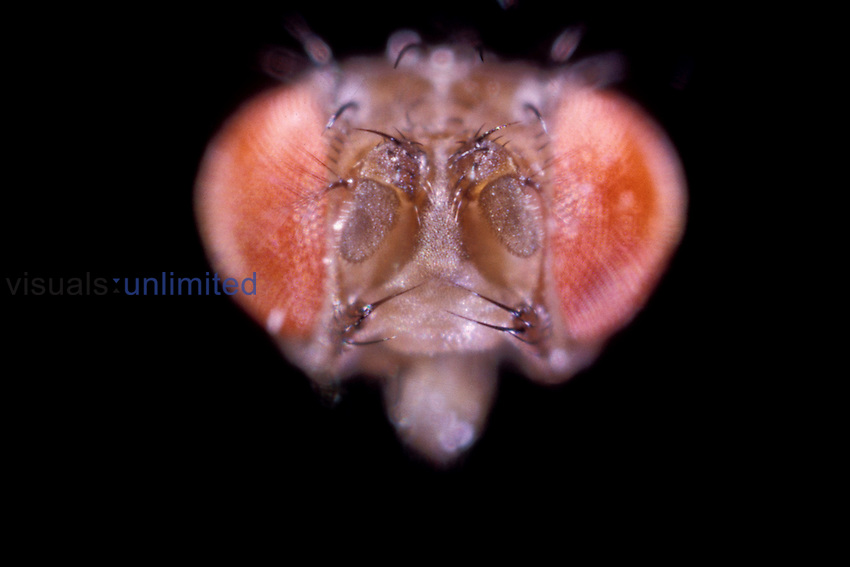 Fruit Fly (Drosophila melanogaster) Ebony Eye Mutation. LM