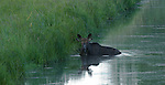 Moose eating green plants found under water in the wetlands in northern Idaho