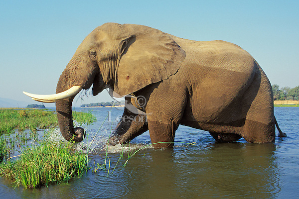 Large african elephant (Loxodonta africana) bull feeding along the edge of the Zambezi River in Mana Pools National Park, Zimbabwe.