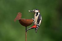 Buntspecht, sitzt auf Gartendeko, Bunt-Specht, Specht, Spechte, Dendrocopos major, Great Spotted Woodpecker, male, Woodpeckers, Pic épeiche