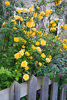 Kerria japonica Flore Pleno in double-flowered yellow spring bloom against wooden garden fence in front garden of house