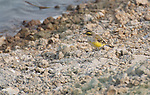 Hong Kong, Mai Po WWF reserve birds  Eastern Yellow-wagtail, motacilla taivana. The WWF Mai Po refuge at Deep Bay in Hong Kong is a wetland haven for thousands of migratory birds during autumn and winter.