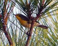 This Grace's warbler was found on December 18,2015 and this photograph was taken on December 23, 2015 in the wildlife park of Seabrook, TX. Seabrook is in Harris County on the shore of Galveston Bay so this bird is very far out of its normal range in the mountains of southern New Mexico and Arizona and Mexico. The bird is hanging out with pine warblers in the tall pines of the wildlife park