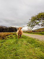 BNPS.co.uk (01202 558833)<br /> Pic: GeoffAllan/BNPS<br /> <br /> You may not come across another human - but Highland cattle are perfectly adapted to the Scottish climate.<br /> <br /> Wilderness walks - new book takes you down paths less travelled in the beautiful Scottish highlands.<br /> <br /> The stunning photos reveal Scotland's best remote walks, and also provide a rudimentary roof over your head at the end of the day. <br /> <br /> Geoff Allan has spent over 30 years travelling the length and breadth of the scenic country, passing through idyllic and untouched landscapes.<br /> <br /> The routes he has selected feature secret beaches, secluded glens, hidden caves and mountains.<br /> <br /> They also include bothies - remote mountain huts - which provide overnight shelter in the wilderness.<br /> <br /> Geoff has listed his top 28 trails complete with GPS maps and descriptions in his book Scottish Bothy Walks.