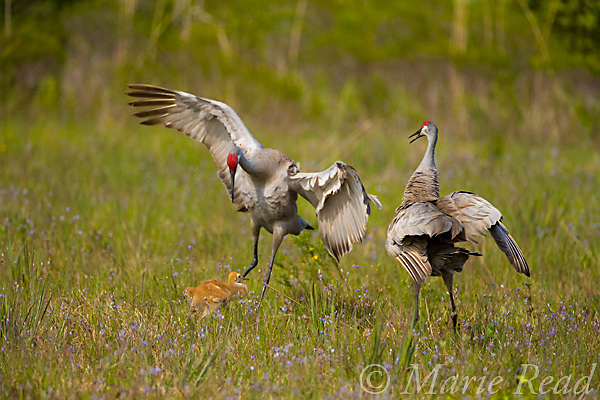 Florida Sandhill Cranes (Grus canadensis) (Florida race), 2 adults and colt, adults dancing, Kissimmee, Florida, USA