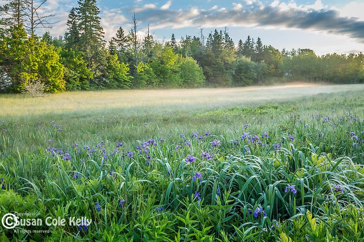 Blue Flag Iris in a wet meadow in Sullivan, Maine, USA