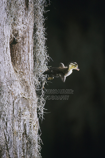 Wood Duck (Aix sponsa), young leaving nesting cavity, Raleigh, Wake County, North Carolina, USA