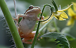 A frog hangs out in a tomato plant at the Greenhouse Project, in Carson City, Nev., on Friday, July 18, 2014. <br /> Photo by Cathleen Allison