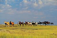 Wild Horse herd at Theodore Roosevelt National Park, N.D.   Summer..(Equus caballus)