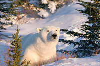 Adult male Polar Bear, Ursus maritimus, in fresh snow and spruce trees near Churchill, northern Manitoba, Hudson Bay, Canada, polar bear, Ursus maritimus