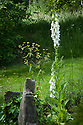 White foxglove (Digitalis purpurea 'Alba') and Euphorbia, Vann House and Garden, Surrey, mid June.