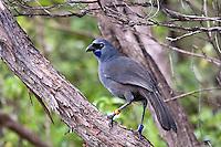 Kokako Bird, Tiritiri Island